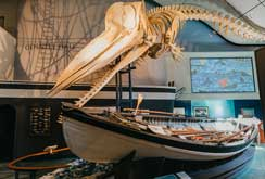 Sperm Whale Skeleton over a whale boat.